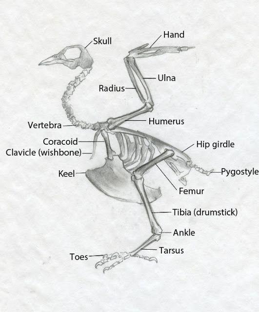 20 Best Bird Anatomy Images On Pinterest Animal Anatomy Birds And