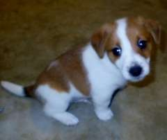 Jack Russell Puppies Adorable -3 MALES LEFT | puppies for sale Bundaberg Queensland | Jack Russell Terrier dogs for sale in Australia - http://www.pups4sale.com.au/dog-breed/446/Jack-Russell-Terrier.html