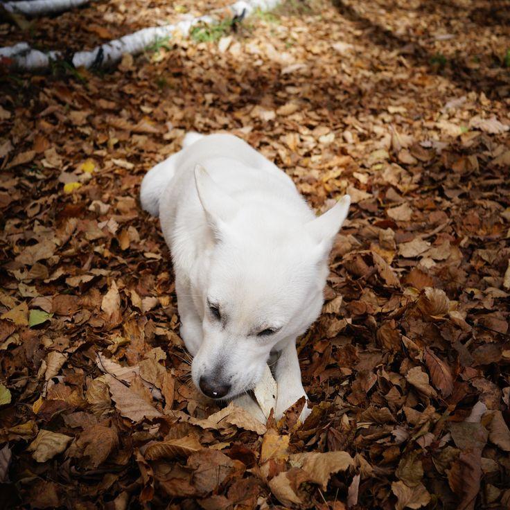 Kishu in Autumn