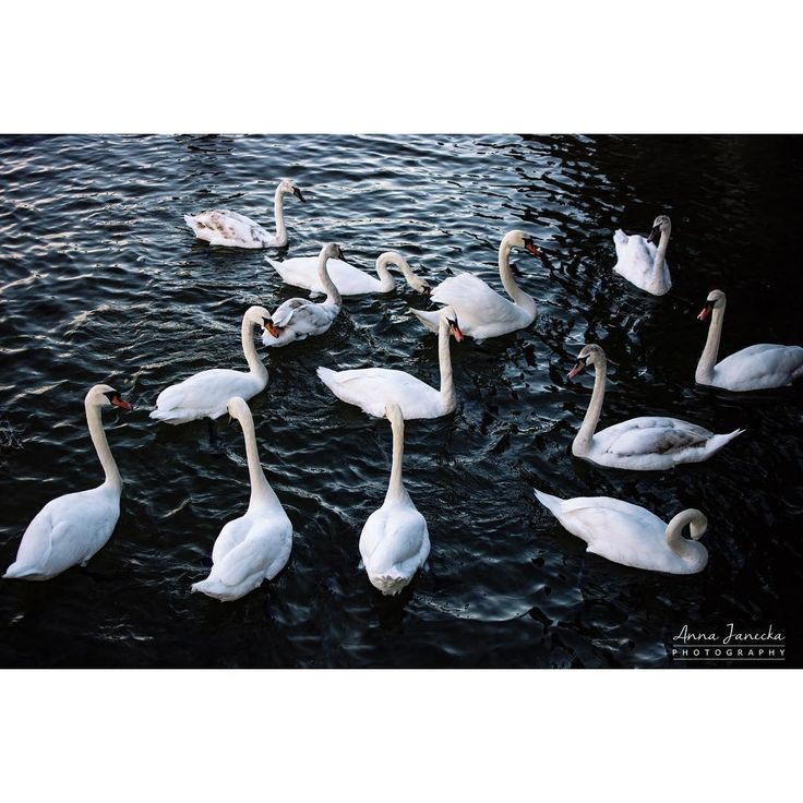 The most important things in life aren't things. #anna_janecka #sopot #swans #photooftheday #capture #nikon #35mm #nikond5200 #photography #rsa_vsco #nature #naturephotography #tv_nature #nature_perfection #moody_nature #rsa_nature #tv_closeup #birds #birdsphotography #rsa_outdoors #tv_fadingbeauty http://tipsrazzi.com/ipost/1509376767148118137/?code=BTyYiw2F1B5