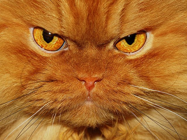 100 best images about Annoyed Cats: Funny Faces on Pinterest