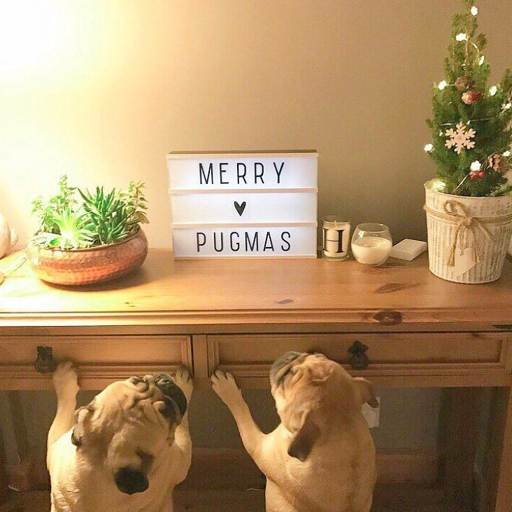We hope you've had a great Christmas and for those that are about to come into it have a great day!  Photo by @hugosadventures  Want to be featured on our Instagram? Tag your photos with #thepugdiary for your chance to be featured.