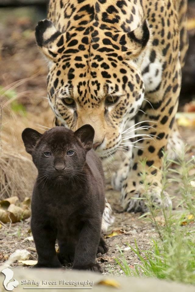 Spotted leopard birthed a black leopard, who has spots, they're just not as noticeable.