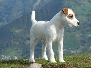 parsons russel terrier