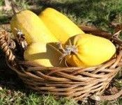 88 days. Introduced in 1934. Easy variety of squash to grow. This is a very popular squash with stringy flesh that can be used like spaghetti. Squash is ripe when they turn yellow and sound hollow whe