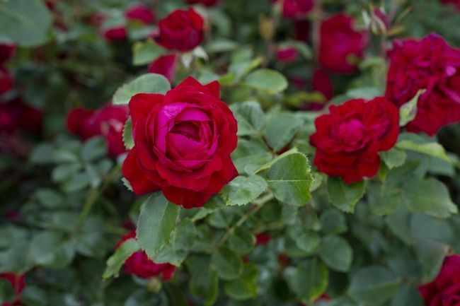Red rose '49 Parallel'. Hardy to zone 2b. It is resistant to black spot (a fungus that defoliates some plants by early summer); is a good repeat bloomer; has shiny green foliage; and its flower is a deep, patriotic red.