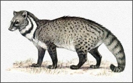 Asian palm civet, whose feces yield the world's most expensive coffee [300 USD as of 2005].