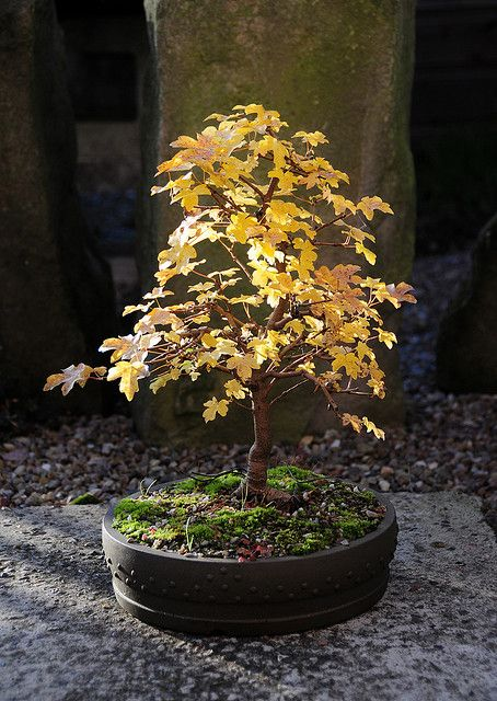 English Field Maple Bonsai Tree (Acer campestre) in Autumn Foliage | Flickr - Photo Sharing!