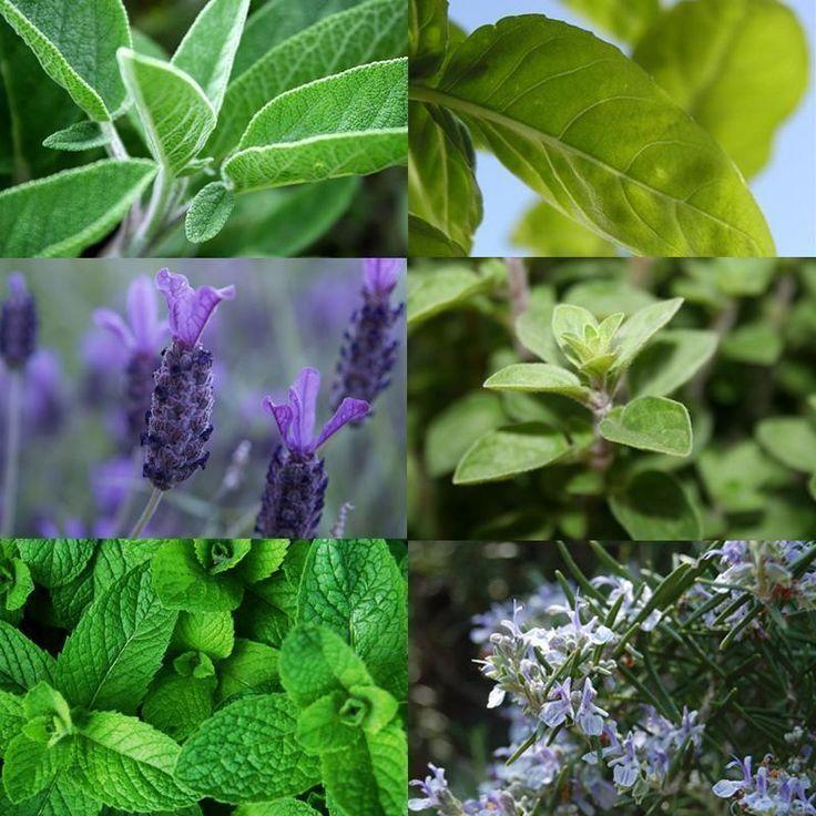 Como plantar ervas aromáticas em casa.
