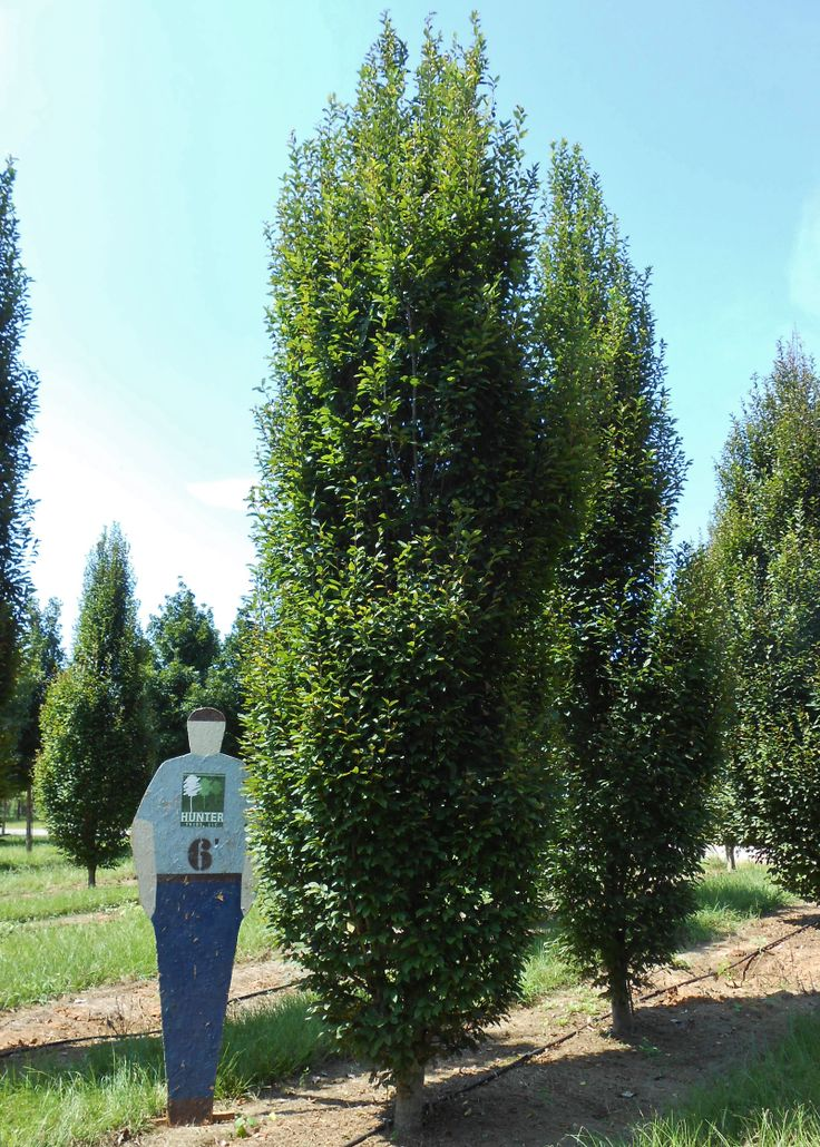European Hornbeam Medium Size Tree With Formal