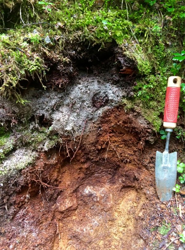 Soil profile of a Spodosol near Snoqualmie Pass, WA, along the trail to Franklin Falls. The grey horizon has been leached of iron and organic matter, which has precipitated below it. The soil also contains ash from recent volcanic eruptions in the region including from Mount St. Helens in May 1980. #soilscience #soilcolor #soilhorizons #soilclassification #soilcolorchart