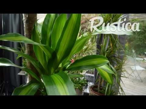 Comment entretenir un dracaena - YouTube