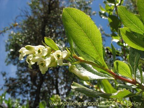 Imágen de Escallonia leucantha (Siete camisas / Luncillo / Ñipa blanca). Haga un clic para aumentar parte de imágen.