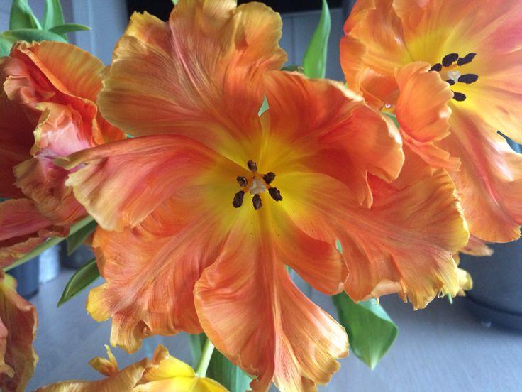 """Interiør-tulipaner """"Monarch Parrot"""""""