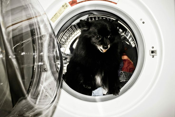 Time to wash >Pomeranian