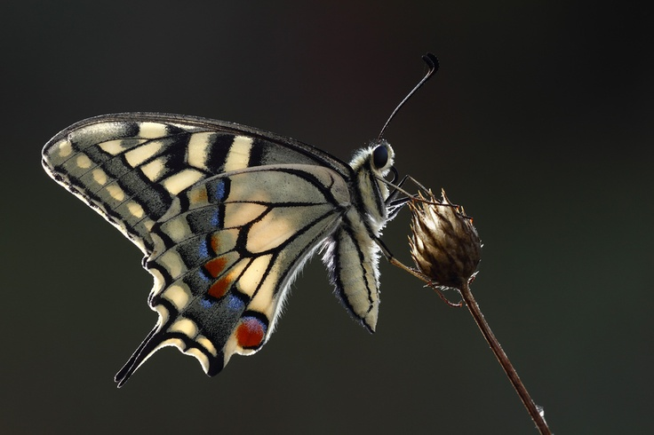 Papilio machaon, backlight with wireless flash, Canon 7D and 180mm macro, tripod.