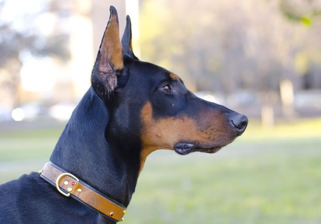 Just the Two of Us (pictures) - Doberman Forum : Doberman Breed Dog Forums