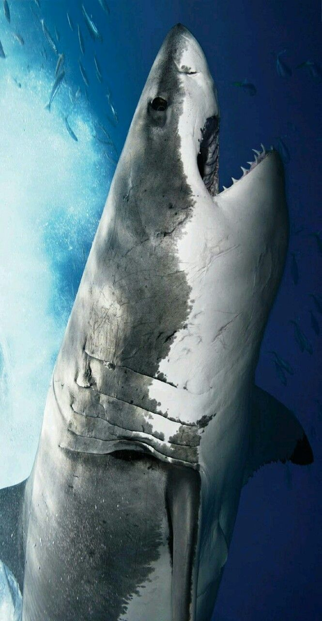 Great White Sharks : Photo