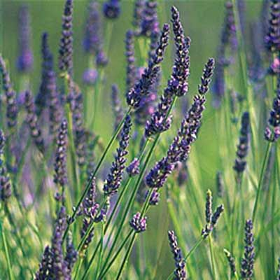 Photo:  David Sieren/Getty Images | thisoldhouse.com | Lavender attracts beneficial insects, such as bees, ladybugs, and praying mantises