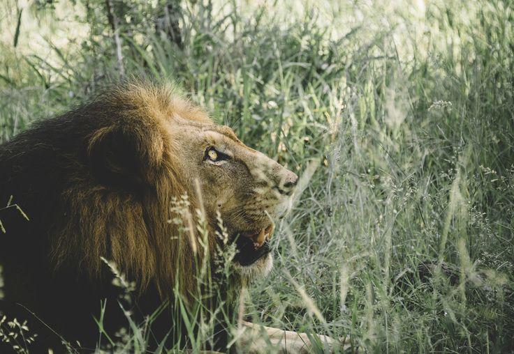 The Lion King by Adam Rozanski on 500px