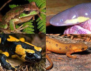 Biología con Sam : Características de los Anfibios modernos