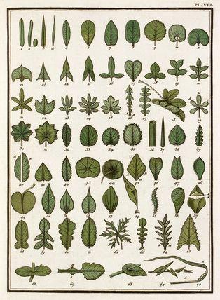 Jean Baptiste François Bulliard -- Plate VIII -- Botanical Plates -- RHS Prints
