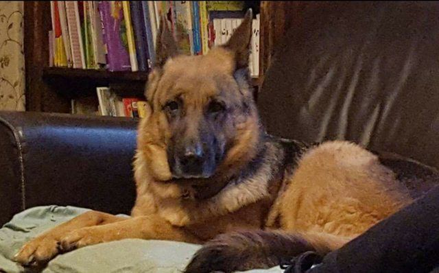 Shelby  6 year old female German Shepherd Dog #cutedogs #cute #dogs #dog #pets #babblepets