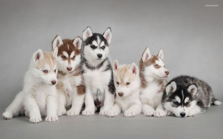 Husky puppies are one of the coolest animals. Also they are cute. If you look this image gallery, you want a husky immediately.