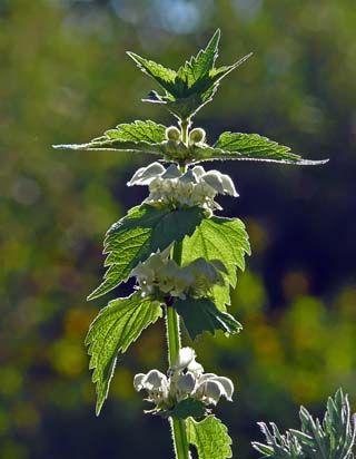 Vitplister, Lamium album - Blomväxter - NatureGate