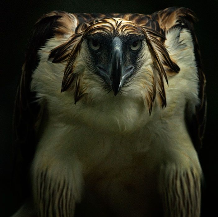 Philippine Eagle (Pithecophaga jeffery), captive, Philippine Eagle Center, Davao, Mindanao, Philippines by Klause Nigge Wildlife Photography