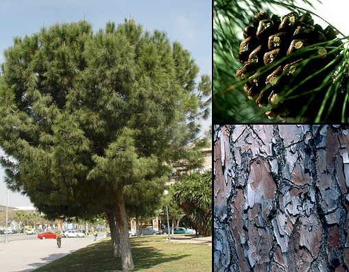 Pinus pinea pino pi onero arbol de hoja perenne que for Arboles de jardin de hoja perenne