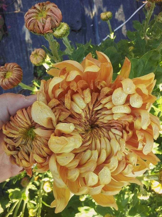Apricot Alexis Chrysanthemum... I can see next year being a big mum year