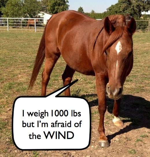 I weigh 1000 lbs but I'm afraid of the WIND.  My name is Lilly and I'm an 11-year-old Arabian pony. Jumping over 3'6″ fences doesn't faze me bit, but the wind whistling by my ears will send me running for cover (with or without a rider on my back). I'm a coward and kind of a jerk!