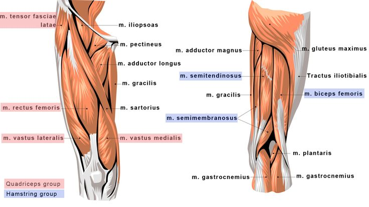 posterior thigh muscles - google search | pa school study pics, Human body