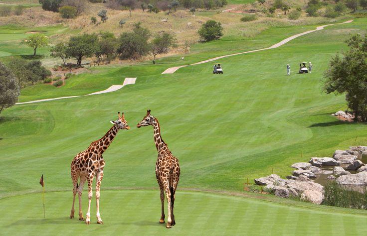 Südafrika ist eine großartige und unter Kennern immer beliebtere Golfdestination, in der Anfänger wie Golfprofis gleichermaßen auf ihre Kosten kommen.   Golf kann in Südafrika jeder ohne steife Etikette spielen. Und weil's so angenehm entspannt ist, erfreut sich diese Freizeitbeschäftigung am Kap immer größerer Beliebtheit. Über 500 Golfplätze gibt es in Südafrika, und an jeder Ecke sprießen neue Greens aus dem Boden. Alle bieten ein hervorragendes Preis-Leistungs-Verhältnis.