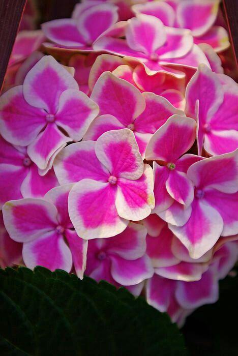 Hortensia bicolor.