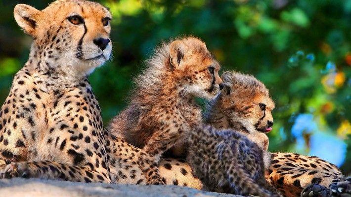 Gepardi Cubs A Velké kočky Predators tapety 3840 x 2400