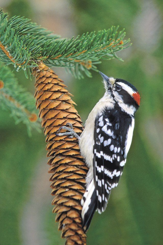 Downy Woodpecker--I had a pair of these at my suet this morning!!