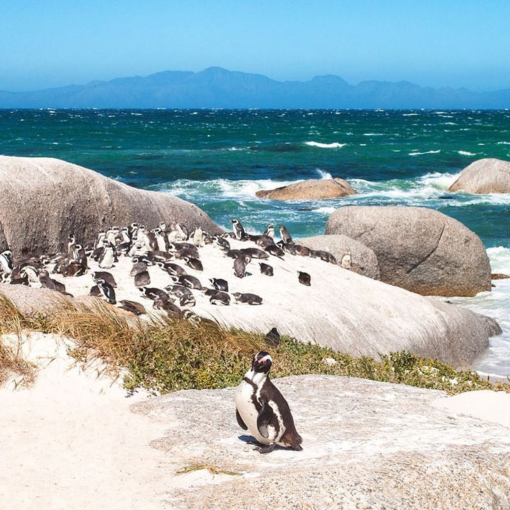 Penguin paradise 🐧 at Boulders Beach, south of Cape Town