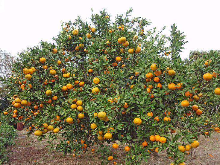 Комнатный мандарин - Citrus reticulata, мандарин фото