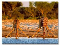 giraffes drinking water from a river