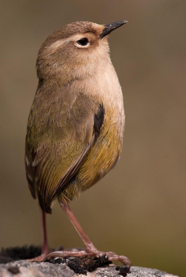Rock wren, female | New Zealand Bird