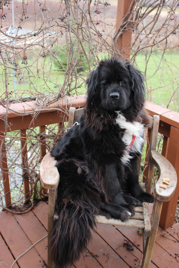 35 very beautiful newfoundland dog pictures - Cutest