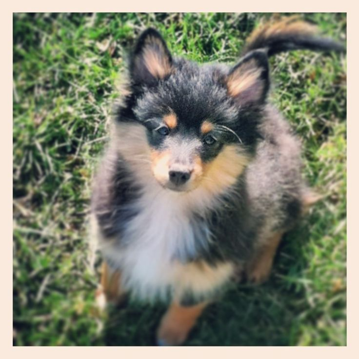 Pomeranian Sheltie Mix Pomeranians mixed puppies