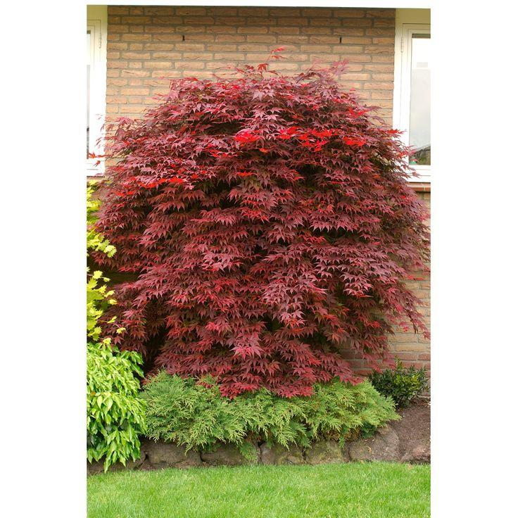 En exotisk touch i din trädgård! Dekorativ 2-3 meter hög buske med mörkt röda flikiga blad. Skapar vackra kontraster i din trädgård. Surjordsväxt. Teknisk
