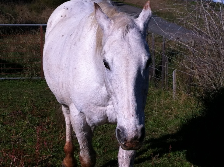 #horse my appaloosa horse Lace