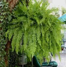 17 mejores ideas sobre helechos colgantes en pinterest for Plantas ornamentales helechos