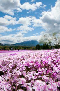 芝桜豆知識|富士芝桜まつり