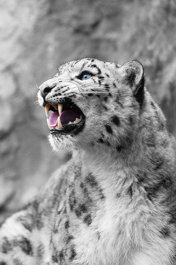 Call of the Snow Leopard by Jhoannes Wapelhorst