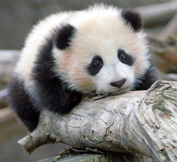 Малышка панды (с изображениями) Милые детеныши животных